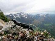 Alpensalamander am Aggenstein